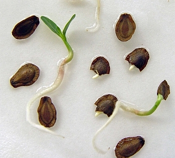 asclepias incarnata seeds germinating