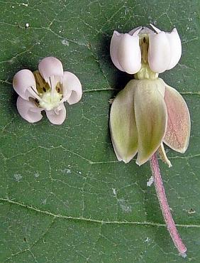 asclepias exaltata flower macro