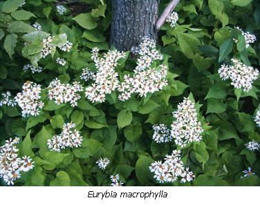 Euryia macrophylla habit