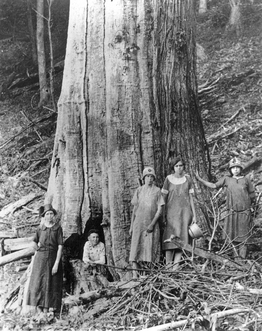 Chestnuts were truly forest giants