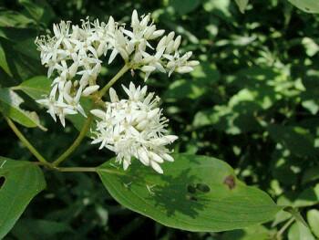 Cornus amomum flowers
