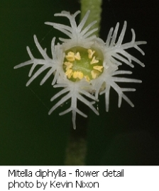 Mitella diphylla flower close-up