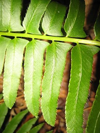 Polystichum acrostichoides leaflet margin