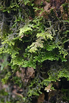 "Porella platyphylla ""stands out"" on trees"