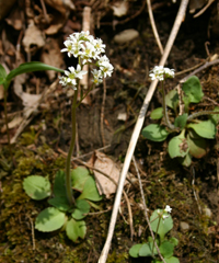early saxifrage whole plant