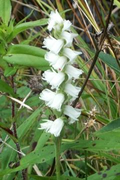 Spiranthes cernua flower