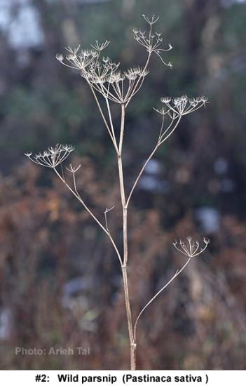 Pastinica sativa in winter