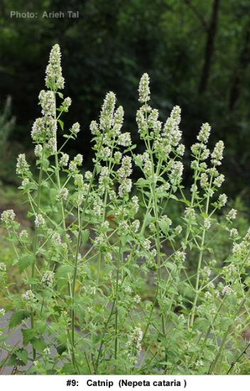 Nepeta cataria in flower