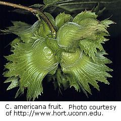 Corylus americana fruit