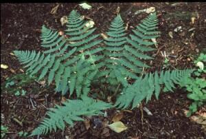Dryopteris marginalis full plant