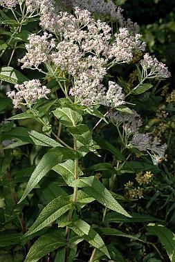 Eupatorium perfoliatum plant