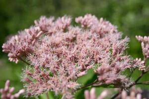 flower close up Eutrochium maculatum