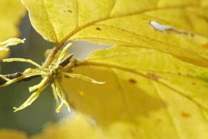 H. virginiana flower closeup