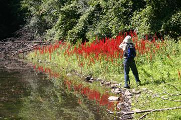 Lobelia Cardinalis Blue Crimson Flames in the ...