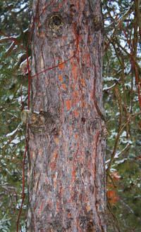 Bark of an older red pine
