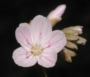 Spring Beauty flower closeup