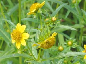 Bidens cernua flower