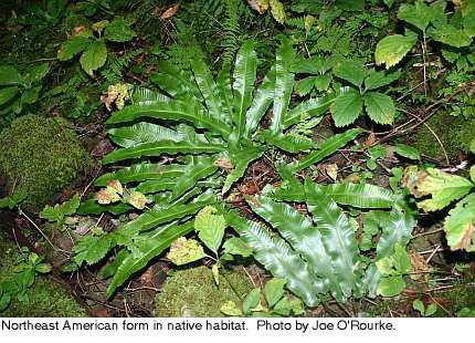 NY harts tongue fern habit