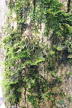 Porella platyphylla on tree bark
