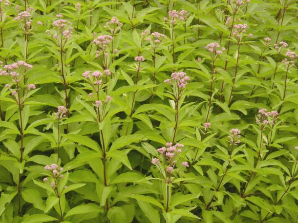 cluster of Eutrochium maculatum