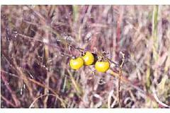solanum caroliniense winter fruit