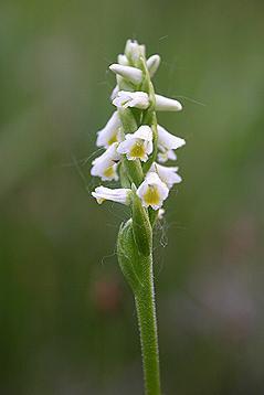 Spiranthes lucida flower