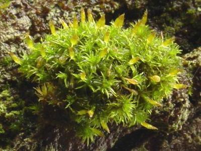 Ulota crispa (wet), on hardwood, Eastman Hill