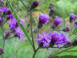 NY ironweed flower close-up