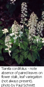 Tiarella cordifolius in flower - note leaf variegation